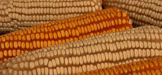 Autorizaci n a monsanto para sembrar ma z transg nico en for Sembrar maiz y frijol juntos